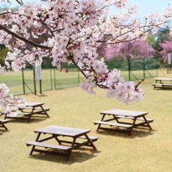 現代福祉学部のプレイグラウンドに咲いた桜の写真です。