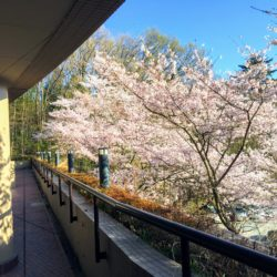 EGG DOMEから見た桜です。